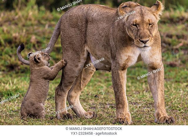 Cub playing with lionesse's leg, Masai Mara National Reserve, Kenya
