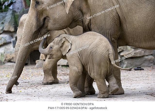 The male offspring Minh-Tan standing beside his mother Douanita at the zoo in Osnabrueck, Germany, 04 October 2017. The elephant offspring was born on 04 July...