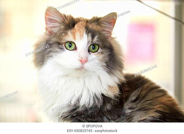 Portrait of friendly fluffy calico cat sitting at home