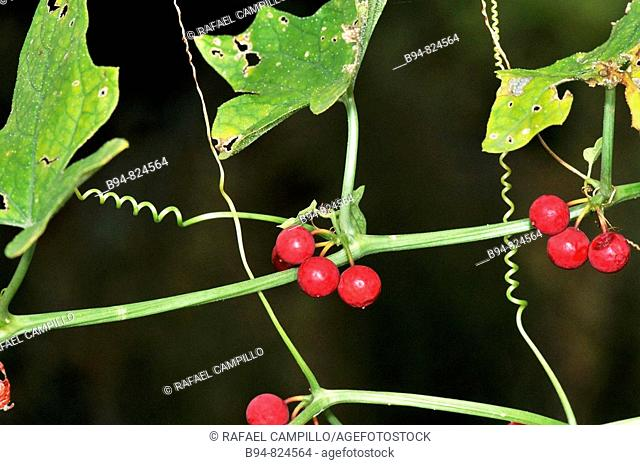 Bryony (Bryonia dioica) berries. Osseja, Languedoc-Roussillon, Pyrenees Orientales, France