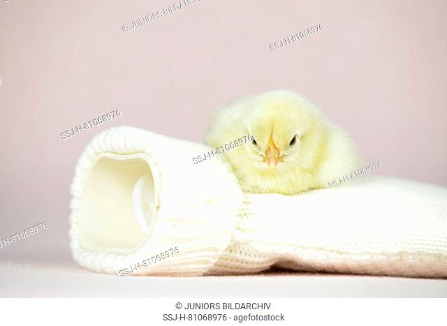 Domestic chicken, Bresse Gauloise. Chick (1 day old) lying on a hot-water bottle. Studio picture. Germany