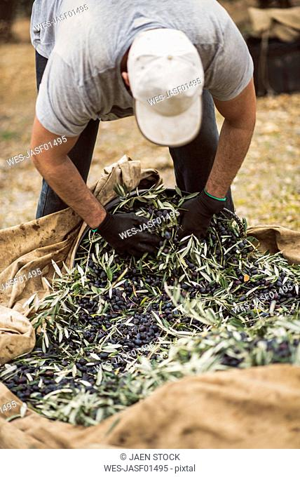 Spain, man filling buckets with harvested black olives