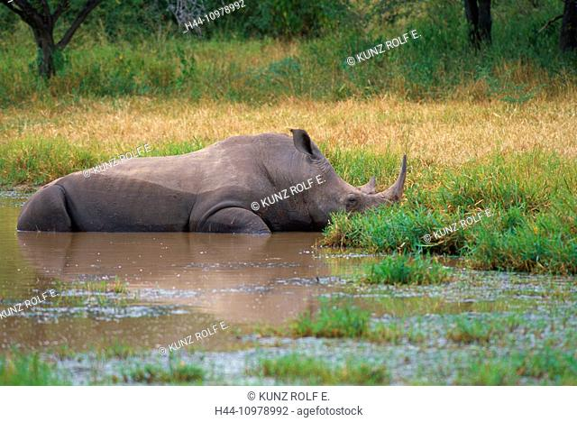 White Rhinoceros, Ceratothermium simum, Rhinocerotidae, Rhinoceros, wallow, mammal, animal, Krüger, National Park, South Africa, Africa