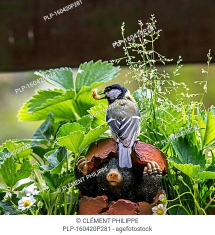 Great tit (Parus major) with peanut in beak on top of mole figurine hiding in broken flowerpot in garden