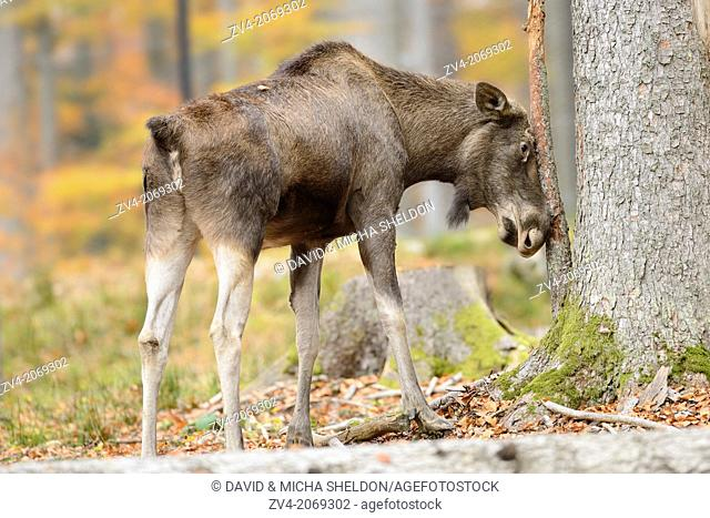 Eurasian elk (Alces alces) cow standing beside a tree trunk in autumn in the Bavarian Forest