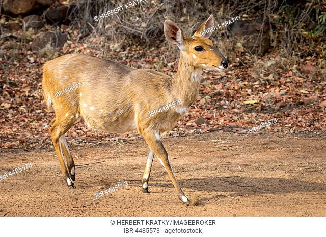 Bushbuck (Tragelaphus scriptus), Kruger National Park, Republic of South Africa