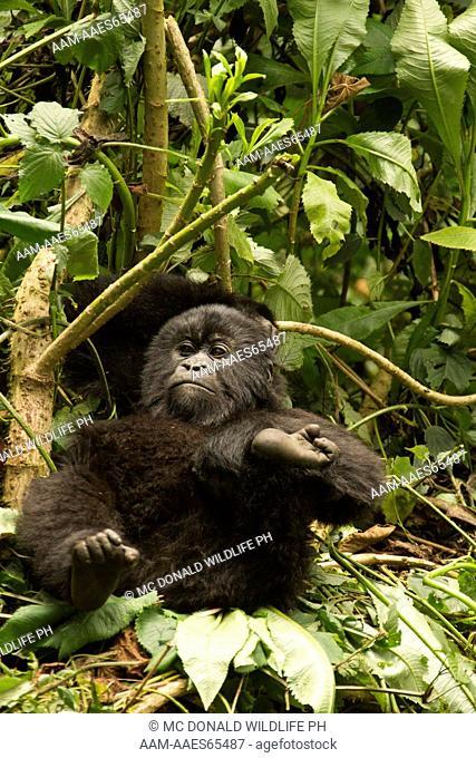 Mountain Gorillas (Gorilla beringei beringei) in the Volcanoes NP, Rwanda, Agashya baby resting sucking on thumb