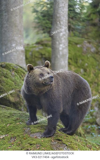 Brown bear, Ursus arctos, Germany