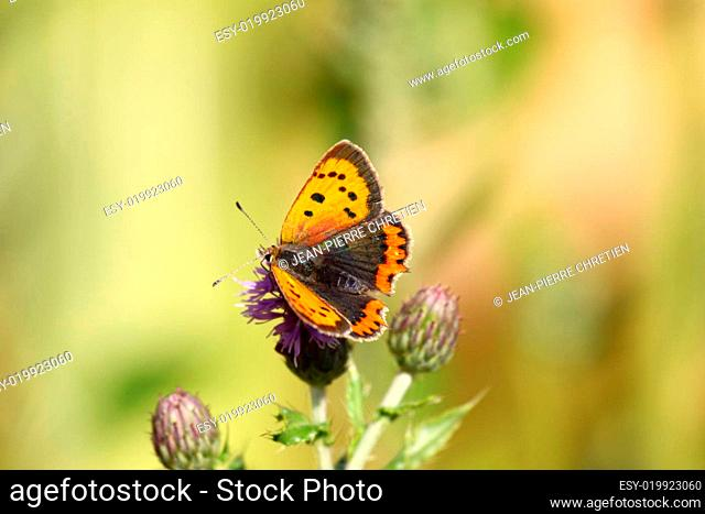 argus butterfly