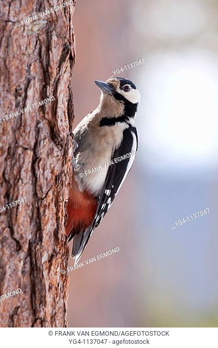 Great Spotted Woodpecker, displaying pecking motion  Spring 2010  Near Oulanka National Park, Finland