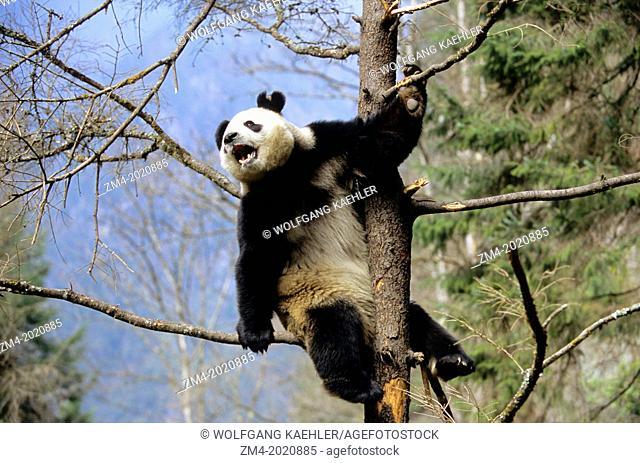 CHINA, SICHUAN PROVINCE, WOLONG PANDA RESERVE, GIANT PANDA (Ailuropoda melanoleuca) IN TREE