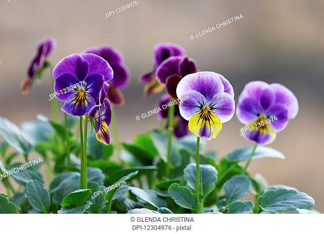 Vibrant purple and yellow pansies in full bloom on a summer day in Palmer Alaska