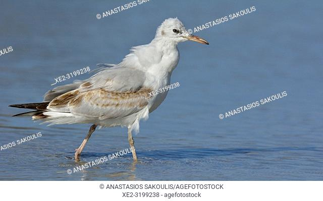 Slender-billed Gull (Larus genei), Greece