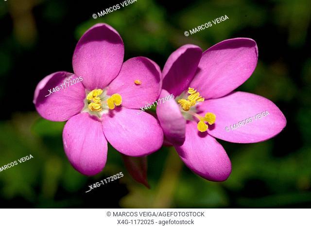 Perennial Centaury  Centaurium scilloides