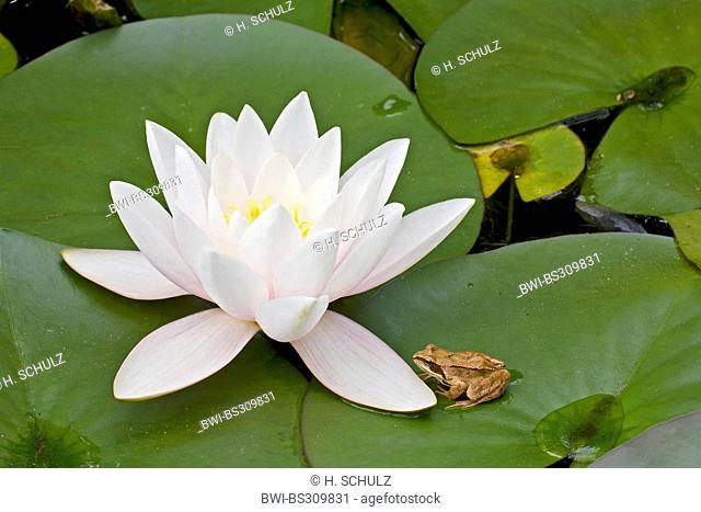 white water-lily, white pond lily (Nymphaea alba), blooming plant with grass frog, Germany, Schleswig-Holstein