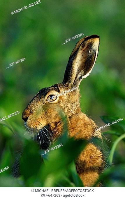 Brown hare, European hare, May, Bavaria, Germany