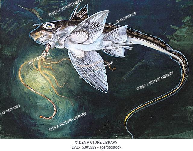 Zoology: Fish - Holocephali.Chimaera (Chimaera monstruosa). Art work