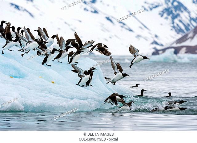 Brunnich's Guillemots (Uria lomvia) taking flight from coastal iceberg, Burgerbukta, Spitsbergen, Svalbard, Norway