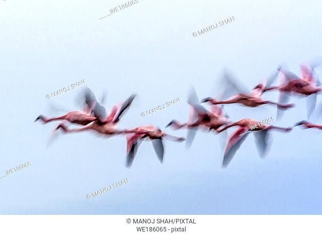 Lesser Flamingos flying over Lake Nakuru. Kenya