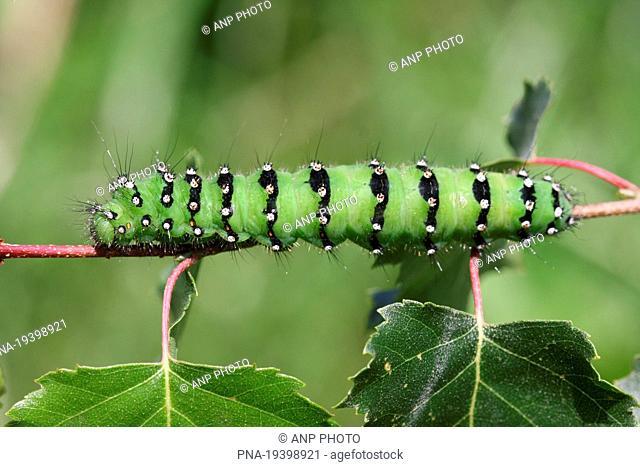 Emperor Moth Saturnia pavonia - Vriezenveen, Twente, Overijssel, The Netherlands, Holland, Europe
