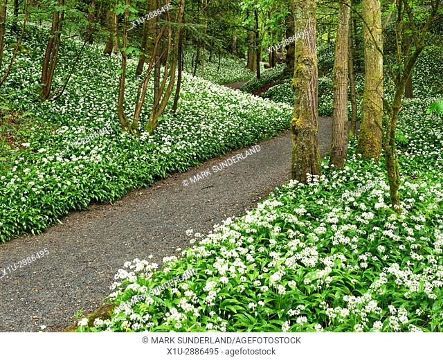 Wild Garlic Flowers by a Footpath through Strid Wood at Bolton Abbey North Yorkshire England