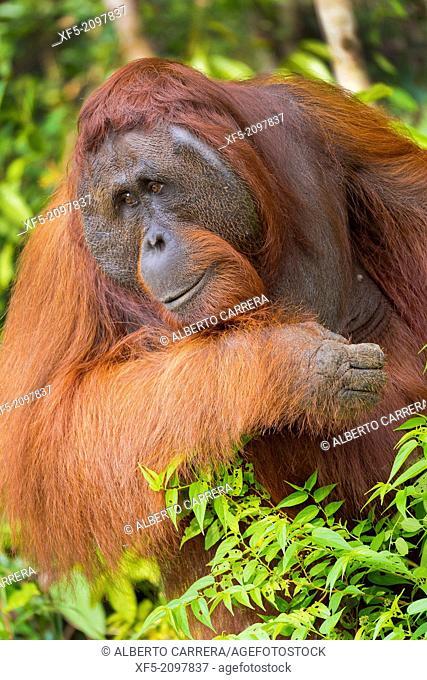 Orangutan, Pongo pygmaeus, Sekonyer River, Tanjung Puting National Park, Kalimantan, Borneo, Indonesia