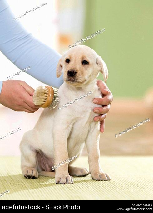Labrador Retriever. Yellow puppy being brushed. Germany