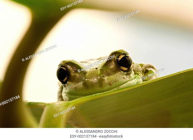 Closeup of a tropical green frog head