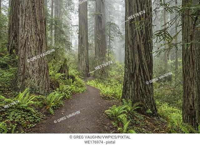 Trail through Lady Bird Johnson Grove, Redwoods State and National Parks, Calfornia
