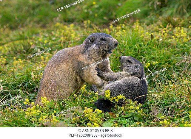 Alpine marmot (Marmota marmota) adult playing with young, Hohe Tauern National Park, Carinthia, Austria