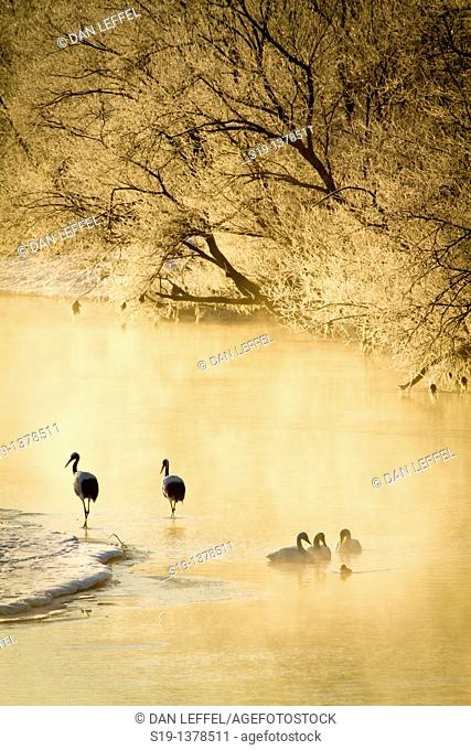 Whooper Swans in river, Hokkaido, Japan
