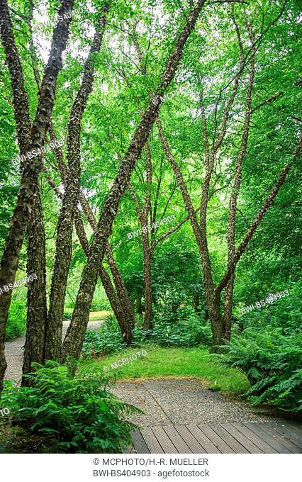 River Birch, Black Birch (Betula nigra), trees in a park, Netherlands