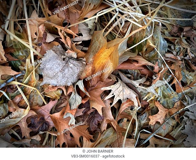 Transparent and decomposing Hosta Royal Standard leaves among other dead autumn leaves, including white oak, red oak, elm, basswood, and maple