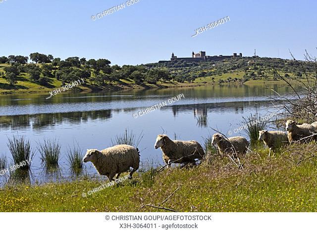 sheep on the banks of the dam lake of Alqueva on the Guadiana River near Mourao, Reguengos de Monsaraz, Alentejo region, Portugal, southwertern Europe