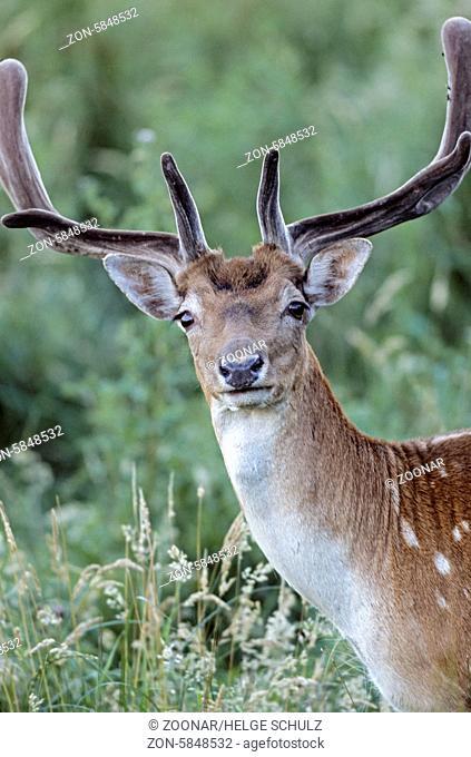 Damhirsch - (Damschaufler mit Bastgeweih im Portraet) / Fallow Deer - (Portrait from a stag with velvet antler) / Dama dama (dama) - (Cervus dama)