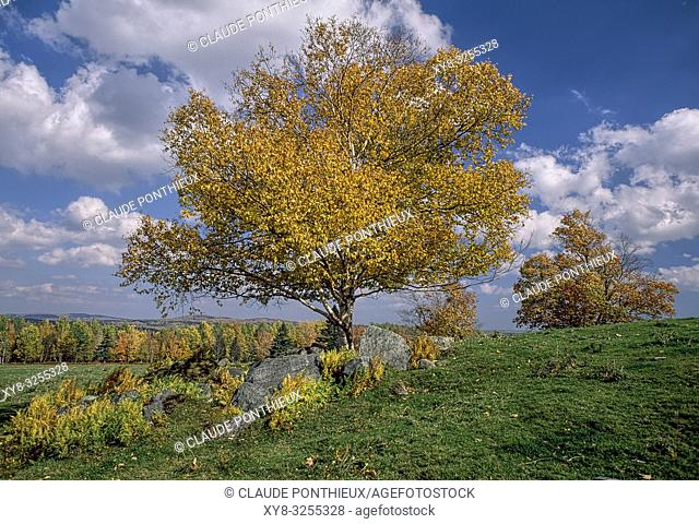 White Birch in fall. Quebec, Canada.