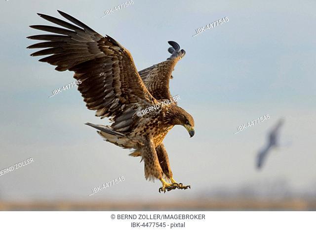 White-tailed eagle (Haliaeetus albicilla), young eagle in flight, Kiskunság National Park, Hungary