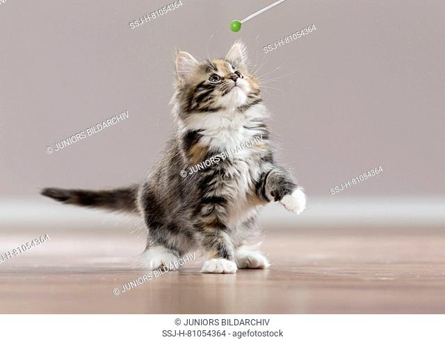 American Longhair, Maine Coon. Kitten with target stick during clicker training. Germany