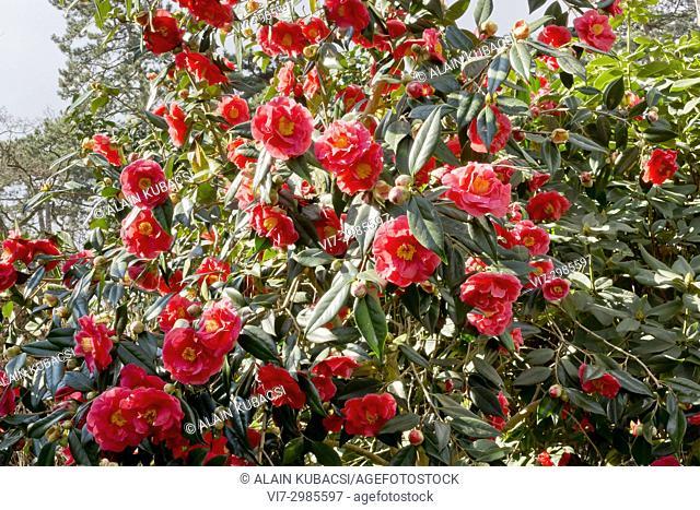Camellia japonica 'Adolphe Audusson' Breeder : Guichard (FRA) 1910