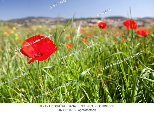 Corn poppy - Papaver rhoeas -, Around Torre Marimon in Caldes de Montbui, Barcelona, Spain