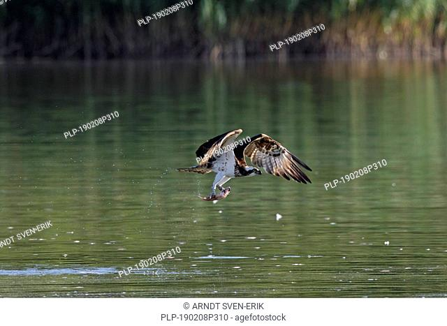 Western osprey (Pandion haliaetus) catching fish from lake with its talons (sequence 2 of 3)