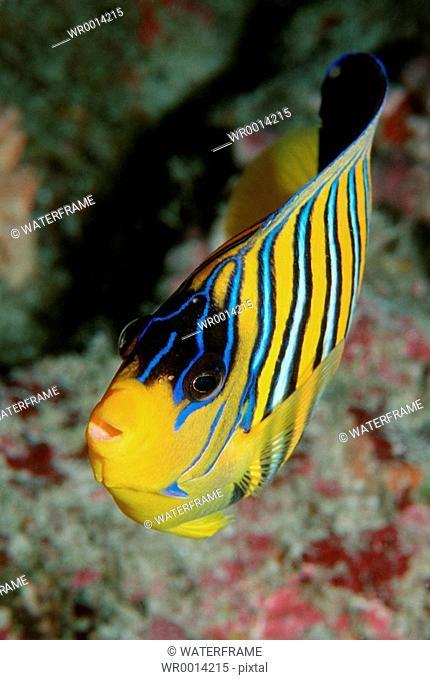 Regal angelfish, Pygoplites diacanthus, Indian Ocean, Maldives Island