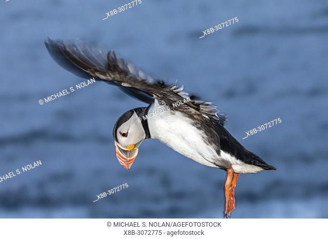 Adult Atlantic puffin, Fratercula arctica, in flight on Grimsey Island, Iceland