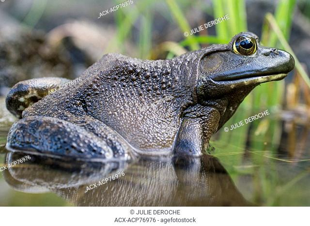The green frog, Lithobates clamitans, is a species of frog native to the eastern half of the United States and Canada
