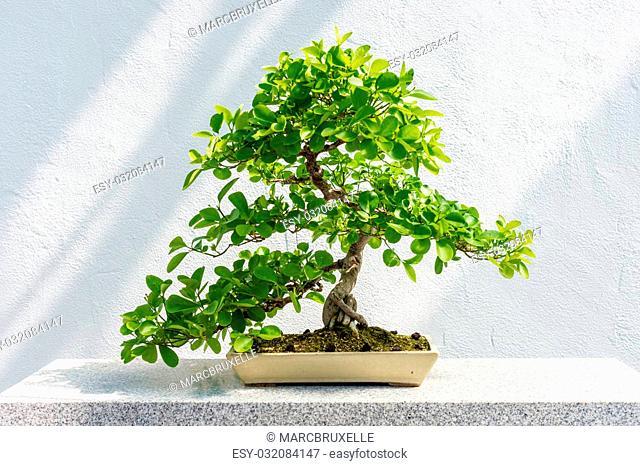 Euonymus fortunei Bonsai (Wintercreeper euonymus) - 40 years old tree