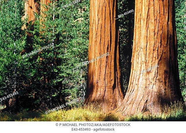 Sequoia trees, USA