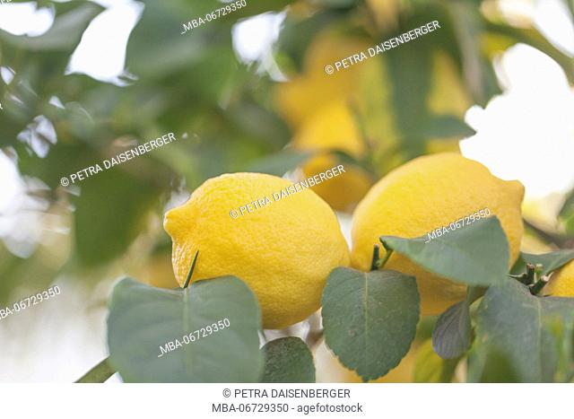 Juicy, yellow lemons in the tree, shortly before harvest