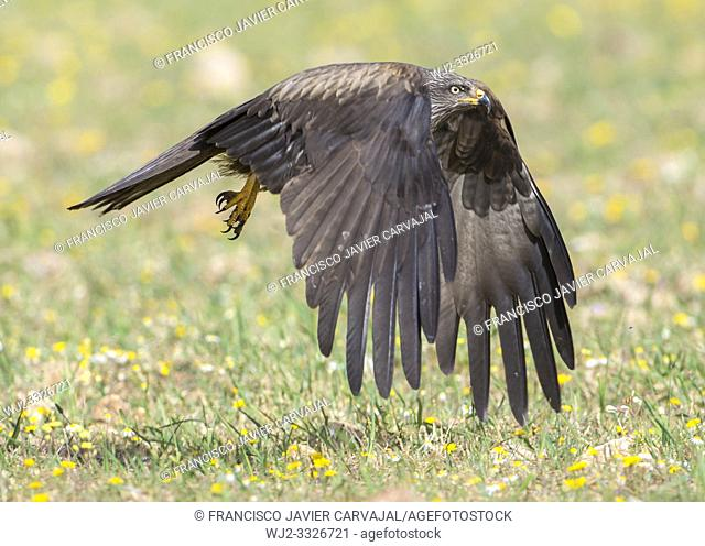 Black kite (Milvus migrans) in flight, Extremadura, Spain