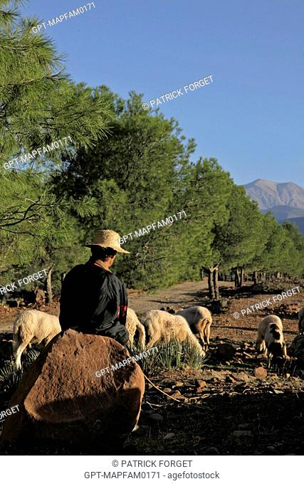 SHEPHERD AND HIS SHEEP AT THE DOMAINE DE TERRES D'AMANAR, TAHANAOUTE, AL HAOUZ, MOROCCO