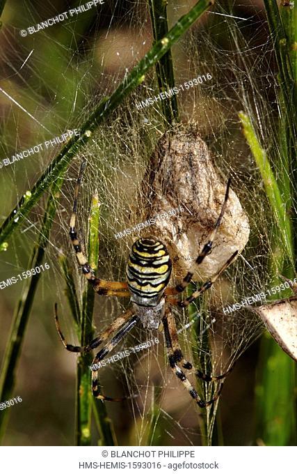 France, Araneae, Araneidae, Araignée, Wasp spider (Argiope bruennichi), female near its cocoon
